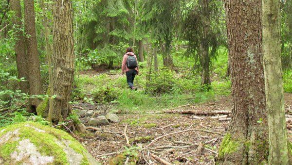 En person går i en barrskog