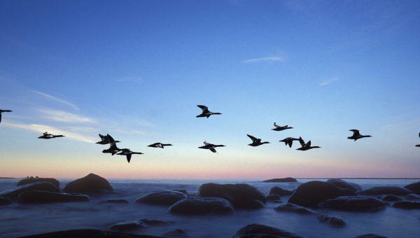 Fåglar som flyger i flock